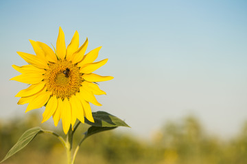 Beautiful background with close up picture of colorful yellow sunflower in golden hour sunlight with free empty space. Agricultural landscape with blue sky. Great for invitation card on summer party.