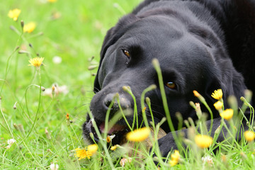 Low angle view of Black Labrador retriever chewing a rock