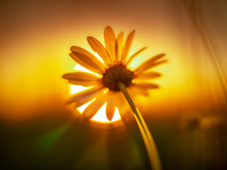 Wall Mural - Daisy flower against sunset sun. Macro shot, shallow DOF.