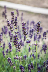 Lavender blooming in a garden