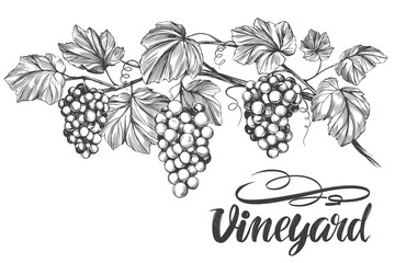 grape vine, grape, calligraphy text hand drawn vector illustration realistic sketch