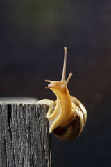 Snail on an old wooden beam, dark blurred background. Stubborn snail crawls up.