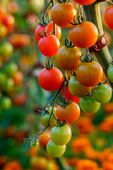 Tomatoes on tree