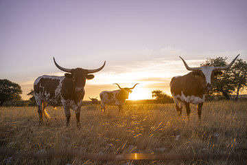 Longhorns in a Field at Sunset