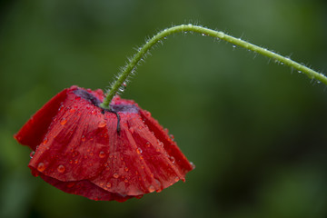 FLOWERS - red poppy on a green background after a rain