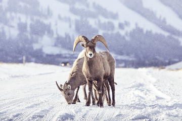 Two bighorn sheep standing on snow covered landscape