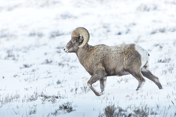 Bighorn sheep walking on snow covered landscape