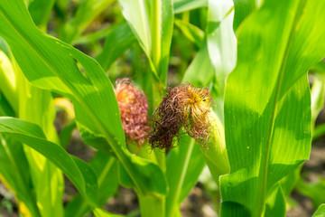Cornfield. The corn is not fully ripe.
