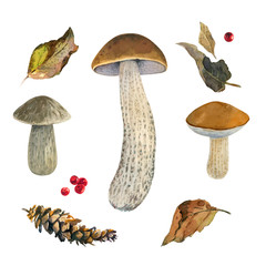 Scaber stalk (Birch bolete) mushrooms watercolor illustration