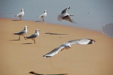 seagulls at Sydney's Bondi Beach. Shot in October.