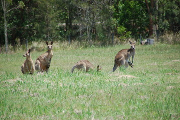 Family of kangaroos. Shot in October in the Hunter Valley Region, NSW/Australia.