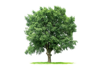 Trees isolated on white background, Large tree green leaf, tropical trees isolated used for design, with clipping path