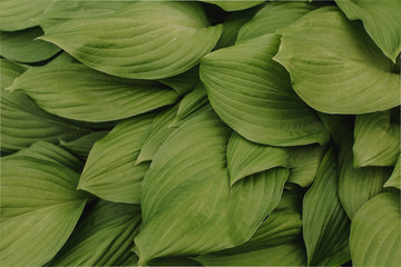 large green leaves of the flower with large veins. flower leaf texture