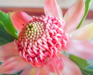 Beautiful pink shades on a waratah flower