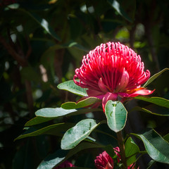 Large red Waratah flower found in the wild at Mount Tomah Botanic Garden in the Blue Mountains, New South Wales, Australia