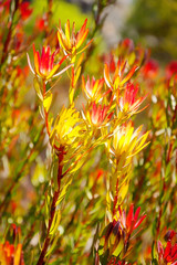 Sun seeker flowers absorbing the sunlight at Mount Tomah Botanic Garden in the Blue Mountains, New South Wales, Australia.