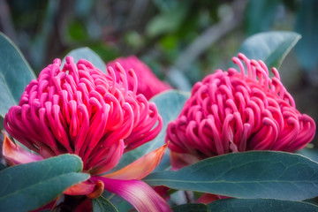 Gorgeous Waratah -Floral emblem of New South Wales