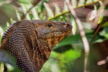 Bengal Monitor - Varanus bengalensis, large lizard from Sri Lankan forests.