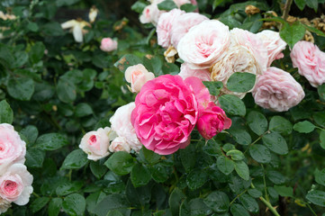 Close up of beautiful pink garden rose blooming in summer park