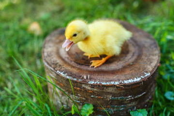 Small duck on a stump in a meadow with green juicy grass