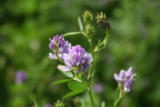 Beautiful purple alfalfa flower in the field. Medicago sativa cultivation in bloom in summer