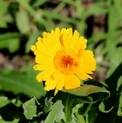 Bright Yellow Calendula in Full Sunlight, Blossom, Close-up