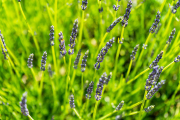Blooming, wonderfully blue and aromatic lavender flowers