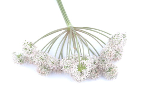 wild carrot flowers on white background