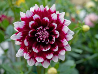 Wall Murals Dahlia Red dahlia flower.