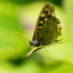 Old Speckled Wood