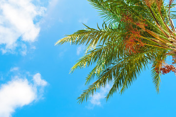 Closeup of green palm tree branch against the background of blue sky