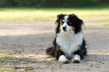 Nala the Miniature Australian Shepherd, in a park