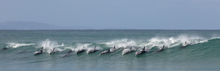 Photo sur Aluminium Dauphin Surfing dolphins at Supertubes in Jeffreys Bay