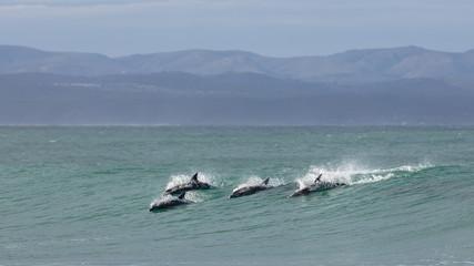 Foto op Aluminium Dolfijn Four surfing dolphins at Supertubes in Jeffreys Bay
