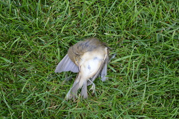 Dead bird on the grass