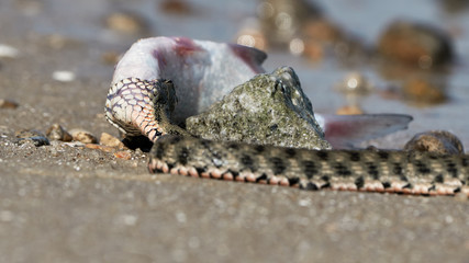 Water snake swallows fish