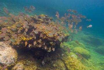 School of yellow fish, underwater landscape.
