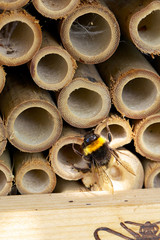 Solitary bumblebee sitting out of a hole in insect hotel