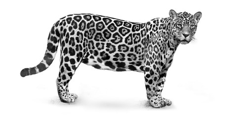 Black and white photo of Jaguar, Panthera onca, the biggest cat in South America, gazing directly at camera. Jaguar isolated on white background, side view .