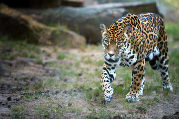 Jaguar, Panthera onca, the biggest cat in South America, walking directly at camera  against blurred rocky background. Wall mural