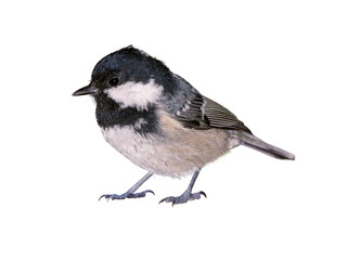 Coal tit (Periparus ater), isolated on white background