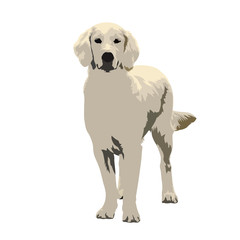Labrador retriever dog standing, isolated vector illustration, front view. flat design. Pets