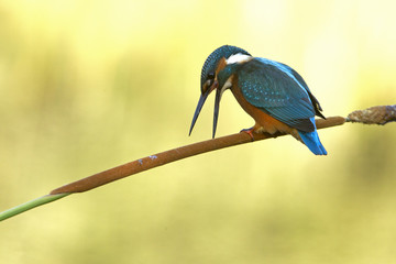 Common kingfisher. Alcedo atthis