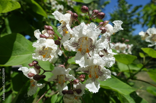 Big White Flowers Of Catalpa Tree In June Stock Photo And Royalty
