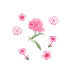 Watercolor of Pink Phlox isolated on white background, hand drawn illustration of flowers, can be used for invitation and greeting cards.
