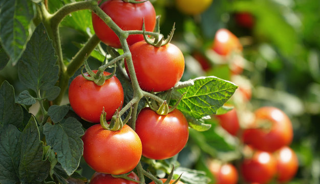 Rote Tomaten am Strauch