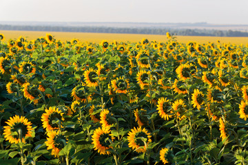 yellow field of sunflowers at dawn with spectacular sky.