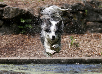 A dog called Tilly jumps into the water in Enfield Town Park, London