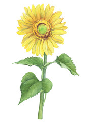 Branch with yellow flower of agriculture plant sunflower (also known as Helianthus annuus). Watercolor hand drawn painting illustration isolated on a white background