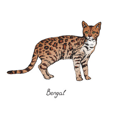 Bengal, cat breeds illustration with inscription, hand drawn colorful doodle, sketch, vector